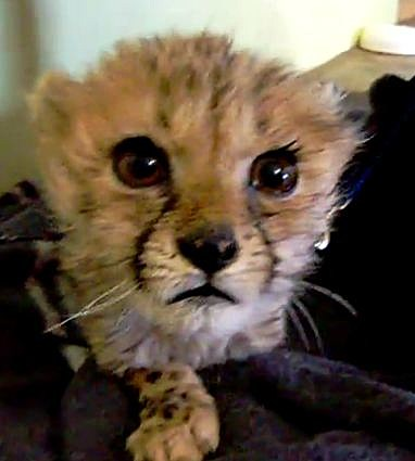 Cute Little Baby Cheetah Kitten Meows? Purrs? Squeals?