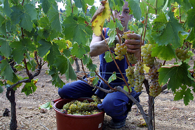 Wine Makers Harvest Grapes Earlier in France