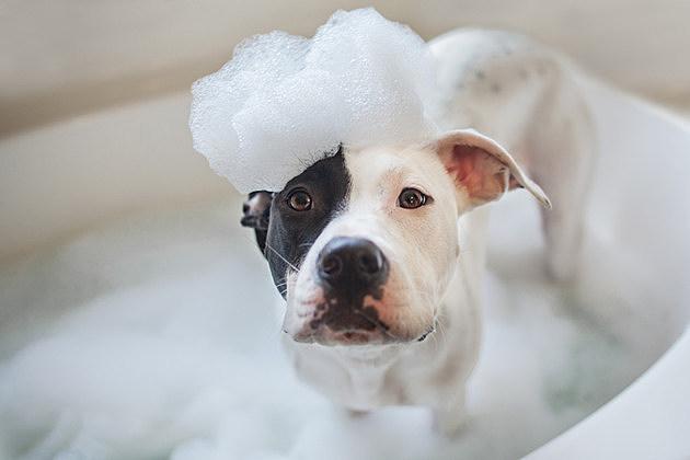 A black and white dog gets a bubble bath. Dog wash. Bubble bath for a dog