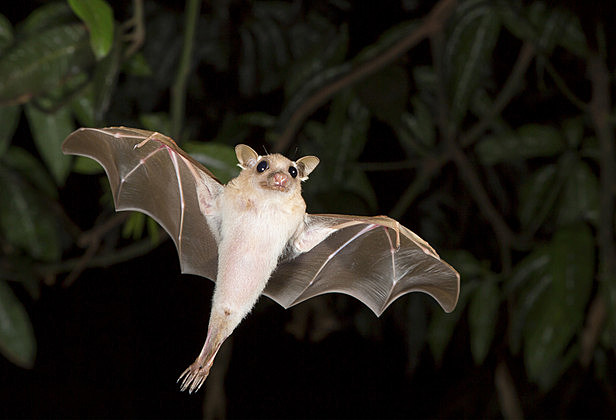 Dwarf epauletted fruit bat (Micropteropus pussilus) flying at night.